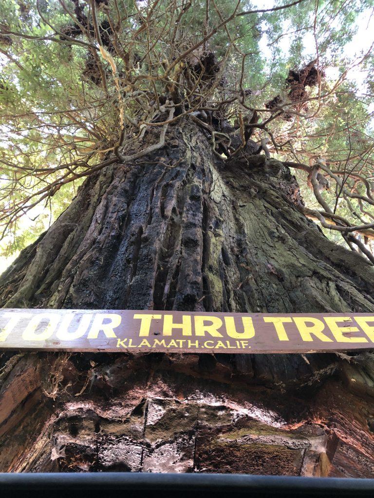 Redwoods Drive Through Tree