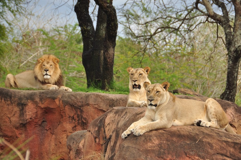 lions at kilimanjaro safaris