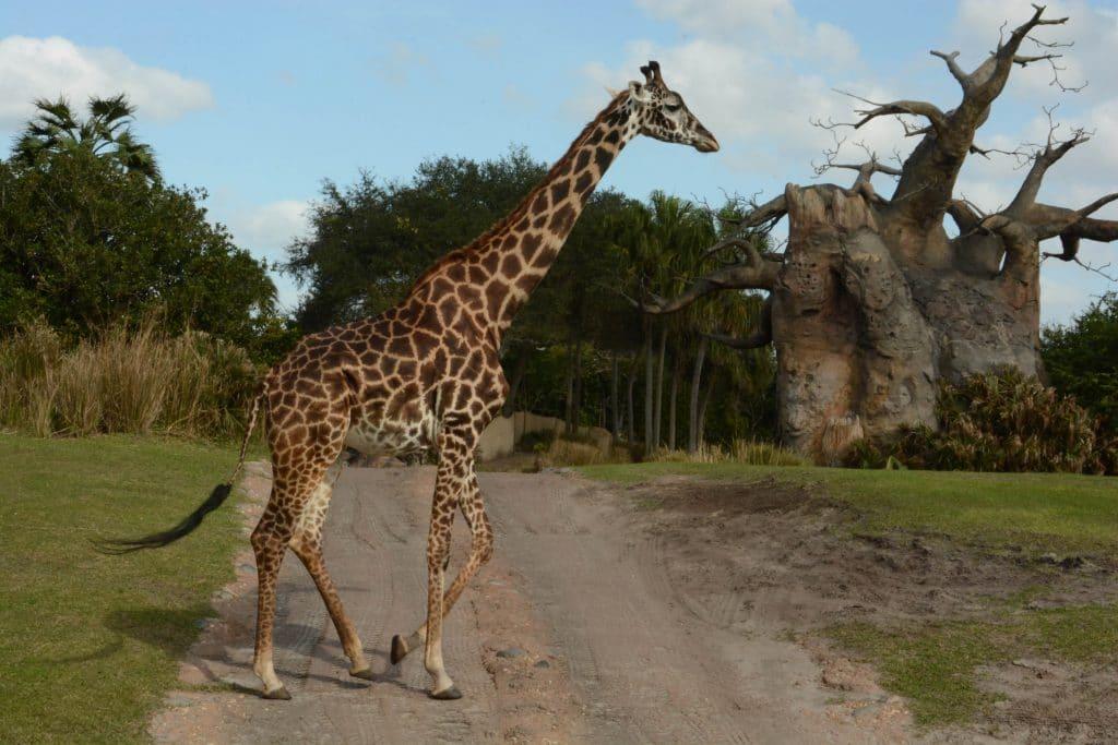 Wild Africa Trek giraffes