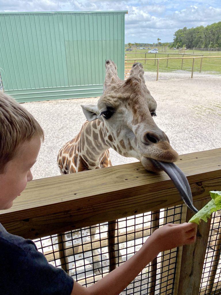 feeding giraffes at wild florida