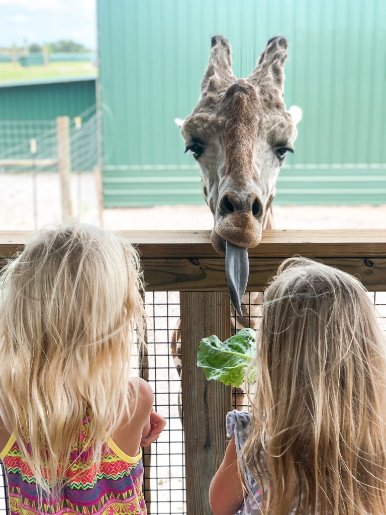feeding giraffes at wild florida