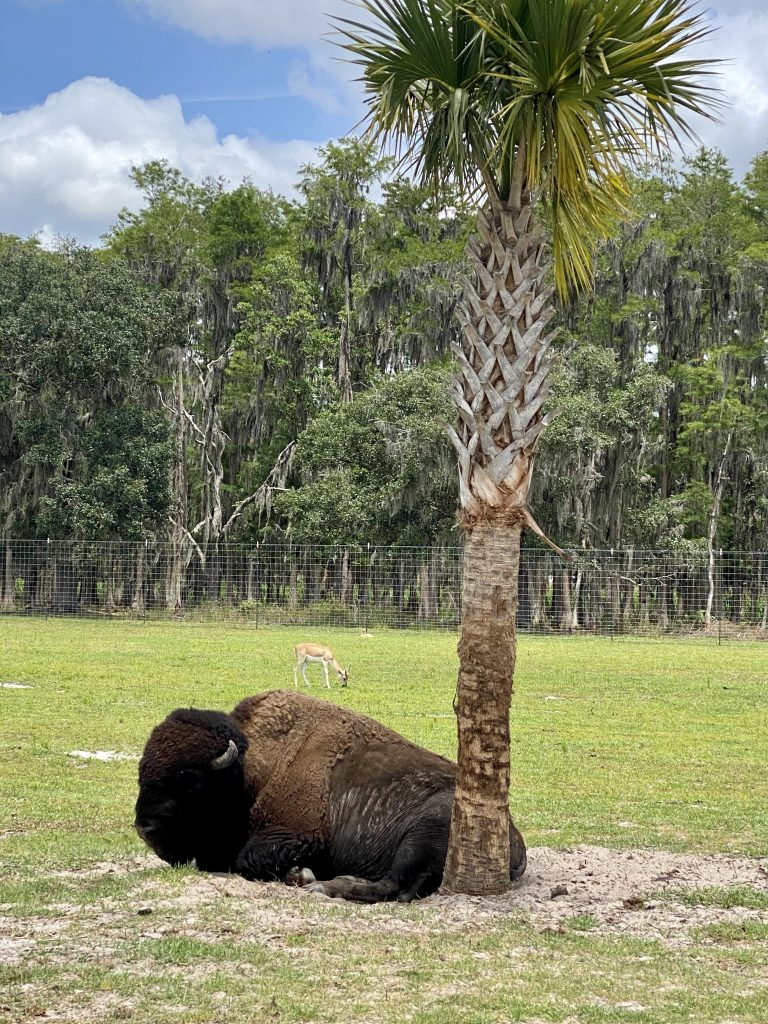 drive thru safari bison